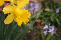 Friendly daffodils.